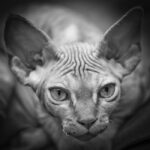 Devon Rex Erbin Rudy point znaczenia syjamskie