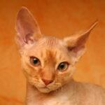 Devon Rex Cypis Rudy point znaczenia syjamskie